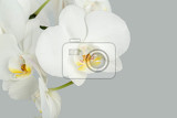 branch of white orchid in pot on grey background
