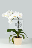 Fotografia branch of white orchid in pot on grey background