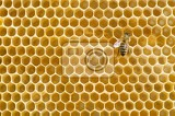 Fotografie honeybee on a comb
