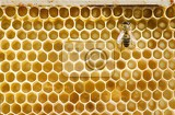 Fotografie single honeybee on a comb  closeup