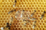 Fotografie overhead view of honeybees on a comb