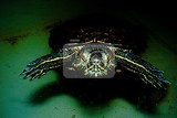 Photo Red-eared Turtle