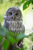 the ural owl strix uralensis in the forest