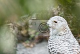 Photo snowy owl sitting on the ground