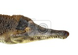 Photo the head of a crocodile on a white background slender  snouted crocodile  mecistops cataphractus