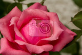 Fényképek beautiful pink roses in garden romatic love background shallow focus
