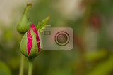 bud of beautiful pink roses in garden romatic love background shallow focus
