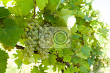 grapes on vineyards under palava czech republic  south moravian region wine region