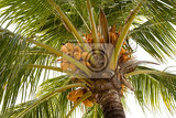 detail of cocopalm tree with yellow nut indonesia bali
