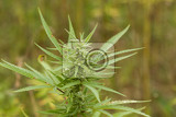 Fotografie field of technical cannabis plants for industrial use canopy of mature plants with buds and leaves