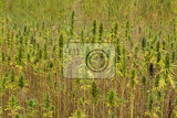 field of technical cannabis plants for industrial use canopy of mature plants with buds and leaves