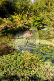 water lily in small pond nusa penida bali indonesia