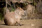 close up photo of capybara hydrochoerus hydrochaeris the largest rodent