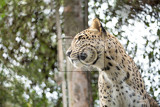 head shot of persian leopard panthera pardus saxicolor known as the caucasian leopard