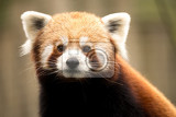 close up portrait of small red panda ailurus fulgens