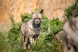 Photo striped hyena hyaena hyaena with broad head and dark eyes