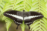 Fotografia macro of beautiful dark butterfly with white strip in garden indonesia bali butterfly park
