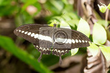 Fotografie macro of beautiful dark butterfly with white strip in garden indonesia bali butterfly park