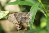 Fotografie macro of beautiful brown butterfly in garden indonesia bali butterfly park