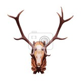 deer antlers and skull isolated on white