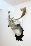 deer trophy mounted on a wall  still
