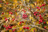 Fotografie wild rosehips in nature beautiful background red cankerberry on the branch of bush