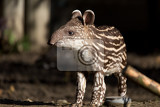 Fotografie small stripped baby of the endangered south american tapir tapirus terrestris