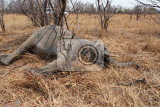 Fotografia small dead elephant in national park hwankee botswana circle of life