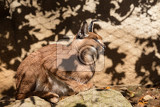 caracal karakal lying on stone beautifull wild cat