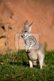 small cute australian red kangaroo baby grazing outdoor