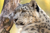 Fotografie side portrait of snow leopard uncia uncia with shallow focus