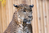 closeup of leopard panthera pardus kotiya looks forward with black background