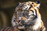 Photo sumatran tiger panthera tigris sumatrae is a rare tiger subspecies that inhabits the indonesian island of sumatra