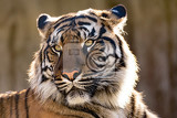 sumatran tiger panthera tigris sumatrae is a rare tiger subspecies that inhabits the indonesian island of sumatra