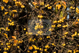 Photo yellow crab apples golden hornet in autumn sunlight