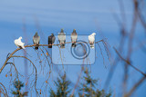 Fotografia group of domestic pigeons sitting on the branch agains blue sky
