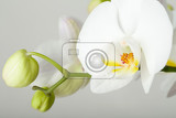 romantic branch of white orchid on grey background studio shoot