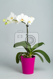 romantic white orchid in pot on grey background studio shoot