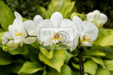 Fotografia macro detail of romantic white orchid in garden