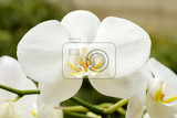 macro detail of romantic white orchid in garden