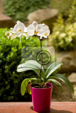 romantic white orchid in pot outdoor in garden
