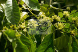 Photo green raw coffe plant in agricultural farm in bali indonesia
