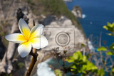 Fotografie wild spa flower white frangipani tropical flower plumeria flower blooming on tree manta point bali nusa penida indonesia