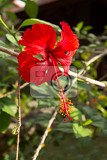 dew on red hibiscus flower with leaves hibiscus rosasinensis red cultivar indonesia