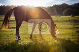 Fotografie portrait of a horse grazing in the sun backlighting