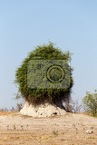 termite mound overgrown with green bush chobe national park botswana