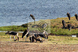 Fotografie marabou storks leptoptilos crumeniferus in the chobe national park botswana