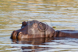 Photo portrait of hippo hippopotamus hippopotamus national park moremi okawango botswana