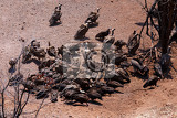 flock of white backed vulture feast on carrion in zimbawe national park
