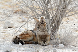 blackbacked jackal canis mesomelas lying in etosha park oshana namibia true wildlife